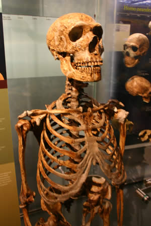 Prehistory - Skeletal remains of a Neanderthal